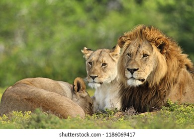 Lion pride watching on