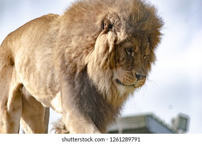A lion in profile