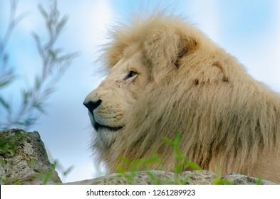 A lion in profile