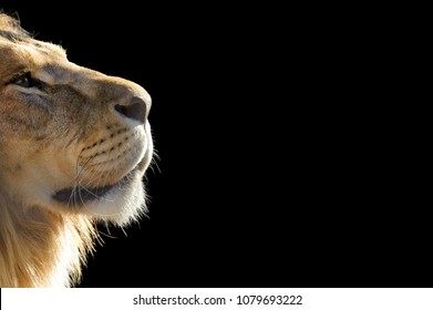 Lion in profile isolated on black background. Copy space.