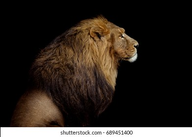 lion profile on black background