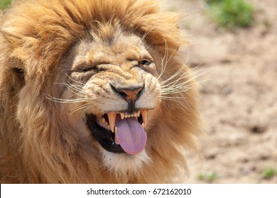 Lion pulling a funny face. Animal tongue and canine teeth. Dangerous killer instinct and look of disgust. Humorous meme image of a top predator taunting or with a bad taste left in the mouth.