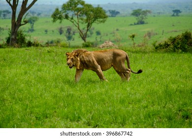 Lion in Queen Elizabeth National Park in Uganda