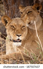 Lion With Radio Collar Tag at Okavango Delta - Moremi National Park in Botswana