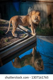 Lion with Reflection