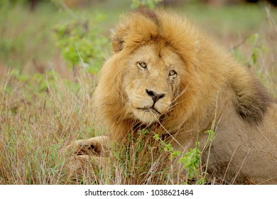 Lion relaxing in the grass