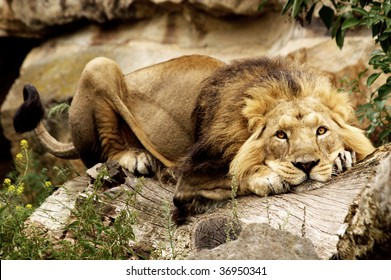 A lion relaxing on a piece of wood