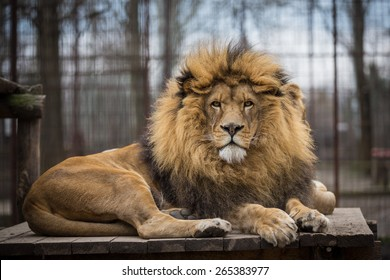 Lion rest in a Zoo
