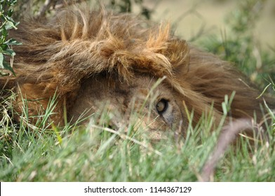 Lion resting face closeup