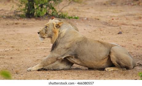 Lion resting on dry ground, Kruger National Park
