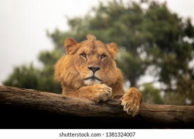 Lion resting on a log