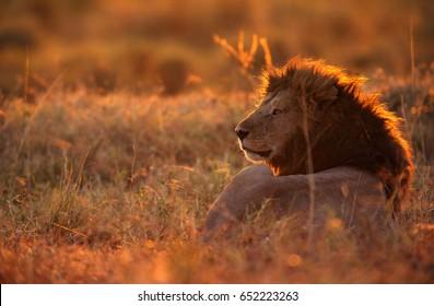 Lion resting in the savannah in the morning, Masai Mara