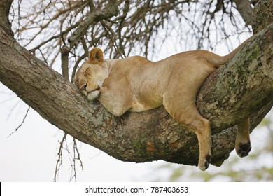 A lion rests on a limb of a tree in Serengeti National Park