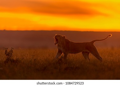 Lion in Rimlight/Backlit Nature stretching and yawning