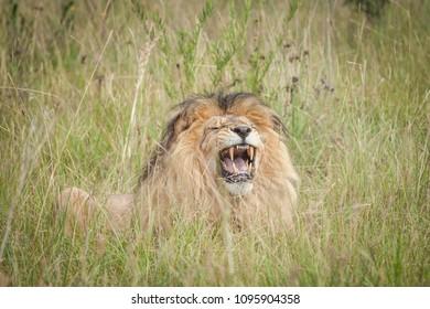 Lion roar at the park