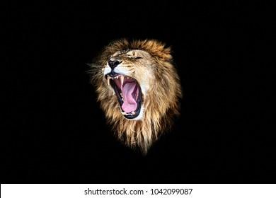 the lion roar, lion portrait