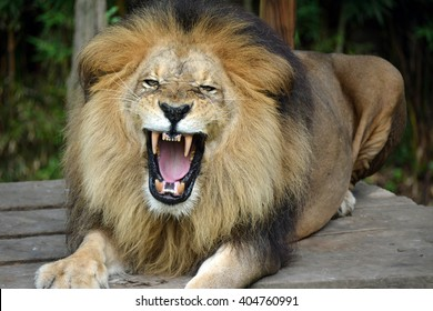 Lion roaring and very disappointed about his life in jail
