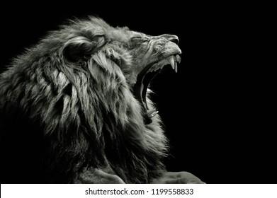 Lion roaring zoo
