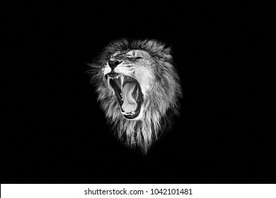 the lion roar,lion portrait