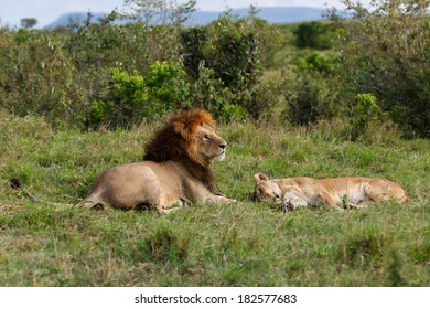 Lion Ron, son of Lion Notch, with his sleeping Lioness during mating time in Masai Mara, Kenya