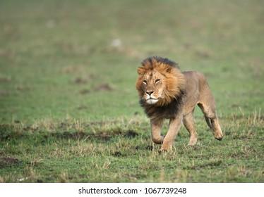 Lion running at Masai Mara grassland