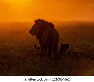 Lion in the savannah of the Maasai Mara