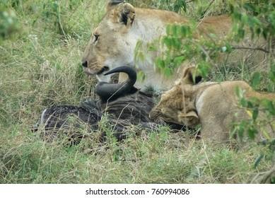 Lion in the Savannah Safari in Kenya