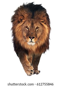 Lion saying hello isolated at white