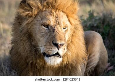 Lion with scars in Masai Mara, Kenya, Africa