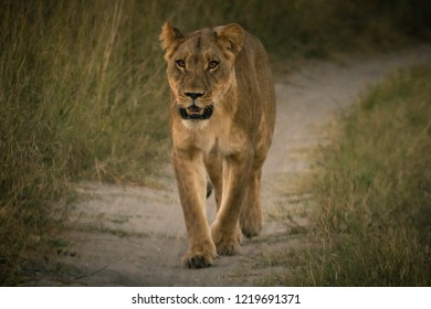 Lion searching for her prey in Africa during a safer in Botswana