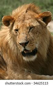 Lion - Serengeti Wildlife Conservation Area, Safari, Tanzania, East Africa