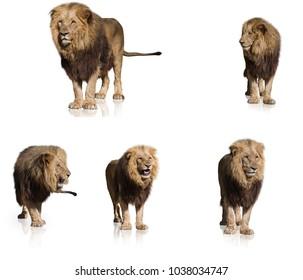 Lion set against white background