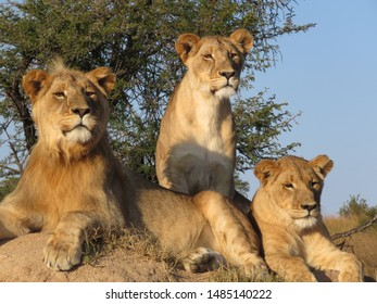 Lion siblings looking in the distance