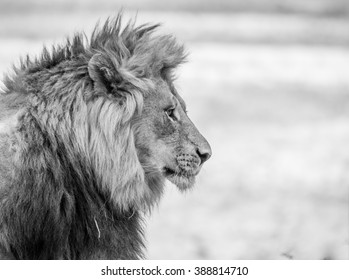 Lion side profile in black white