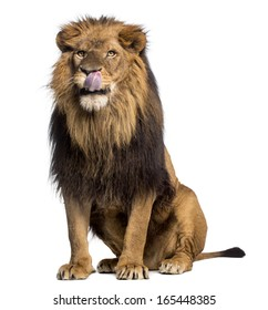 Lion sitting, licking, Panthera Leo, 10 years old, isolated on white