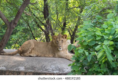 Lion sitting on a cemented platform in a zoo.