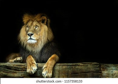 Lion. Lion sitting on a rock with a dark background. Photo of the animal world.