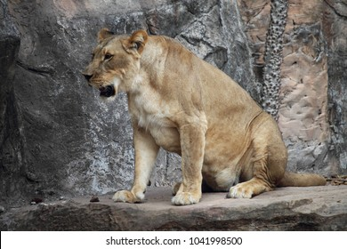 Lion Sitting on a Rock. Male lion with light flare. Side view of a Lion standing.
