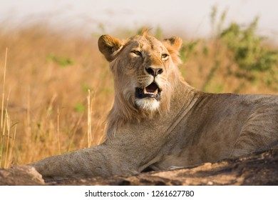 Lion sitting on rocky outcrop resting (panthera leo), Kenya, East Africa