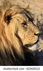 Lion sitting in the sun in Africa