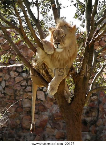 A lion sleeping in the branches of a tree.