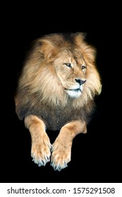 The lion is a species in the family Felidae; it is a muscular, deep-chested cat with a short, rounded head, a reduced neck and round ears, and a hairy tuft at the end of its tail.