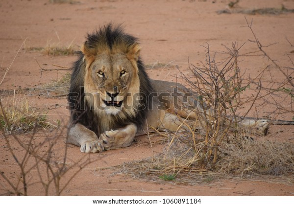 Lion spotted at a guided game drive in Namibia, Africa