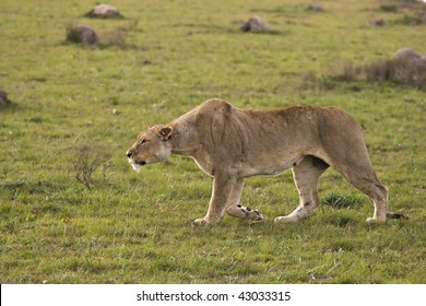 Lion stalking on the plains.