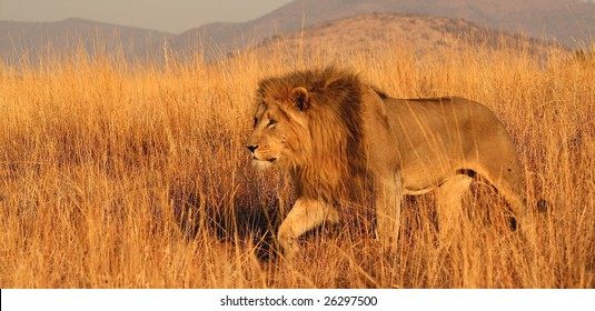 Lion stalking through long grass