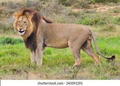 Lion standing