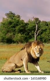 Lion Standing at Dusk