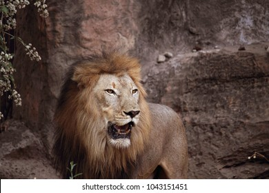 Lion standing on a Rock. Male lion with light flare. Side view of a Lion standing.