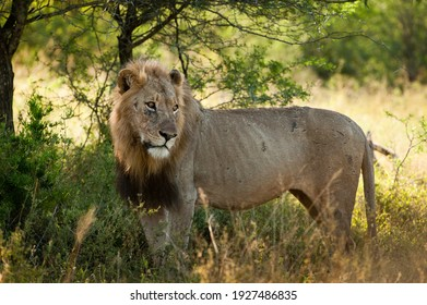 Lion standing sideways in a alert stance