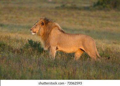 Lion stares across grassland in late afternoon light.